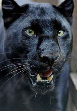 angry panther talks   human theosophy
