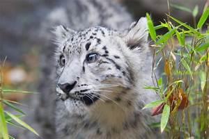 Snow Leopard Cat