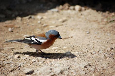 small bird on ground alegri free photos highres