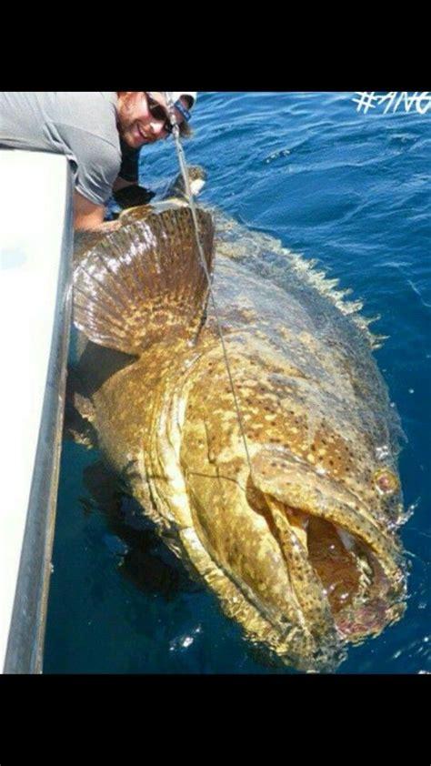 grouper fish fishing goliath bass cow giant saltwater its gone air water line ocean salt deep caught bladder wow spear