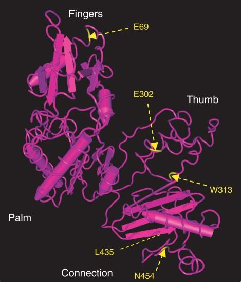 Structure of MMLV RT highlighting the locations of ...