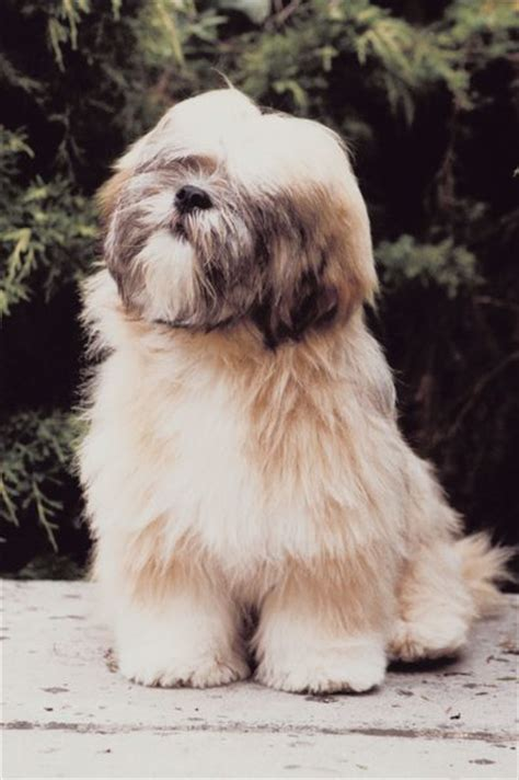 my lhasa apso is shedding hair lhasa apso hairstyles pets