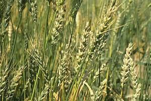Stinking smut of wheat
