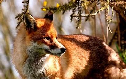 Fox Desktop Wallpapers Animal Backgrounds Animales Pantalla