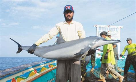 Fishing Boat Price In Karachi by 12 000 Dolphins Killed Every Year In Pakistan Pakistan