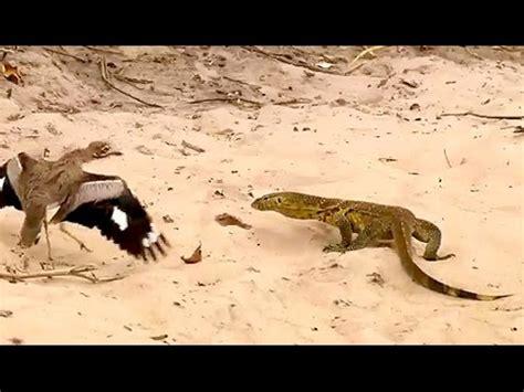 Aves vs Lagarto YouTube
