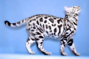 bengal cat grown 50 sweet bengal cat kitten breed fact stock