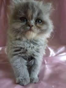 Blue Cream Persian Cats Kittens