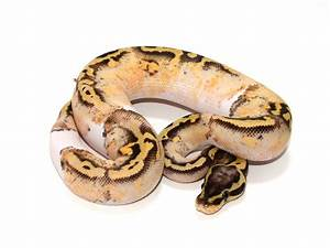 Super Pastel Yellow Belly Pied - Morph List - World of ...