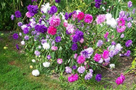 perennial plant care asters www pixshark com images galleries with a bite