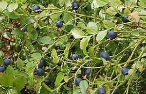 Wann Heidelbeeren Pflanzen : heidelbeeren pflanzen kraut r ben ~ Orissabook.com Haus und Dekorationen
