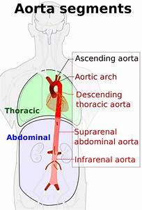Hemodynamics Of The Aorta
