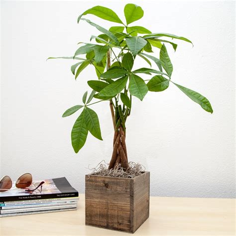 send bonsai tree gift send plant gifts that grow for luck housewarming