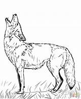 Coyote Coloring Howling Printable Drawing Tattoo sketch template