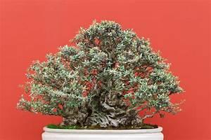 Pflege Von Bonsai Bäumchen : olivenbaum als bonsai erziehung pflege mehr ~ Sanjose-hotels-ca.com Haus und Dekorationen