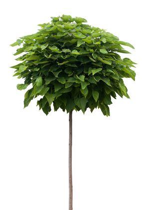 catalpa baum schneiden kugel trompetenbaum catalpa pflege und schneiden