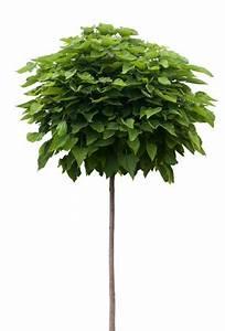 Kugel Trompetenbaum Schneiden : kugel trompetenbaum catalpa pflege und schneiden ~ Lizthompson.info Haus und Dekorationen