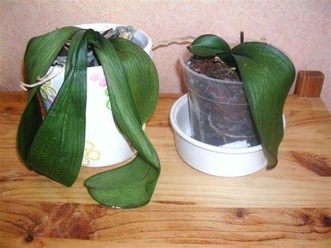 coltivare orchidee in vaso come coltivare le orchidee orchidee come coltivare le