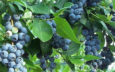 berry shrubs blueberries ramblin through dave s garden