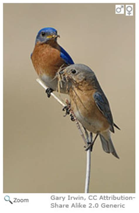 eastern bluebird sialia sialis wildlife journal junior
