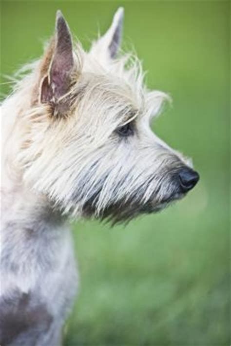 correct biting cairn terrier puppy dog care
