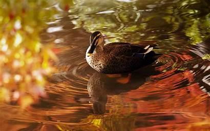 Duck Water Lake Amazing Wallpapers Pond Eenden