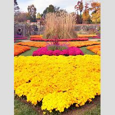 Fall Mums At The Biltmore Estate, Asheville, Nc  It Would