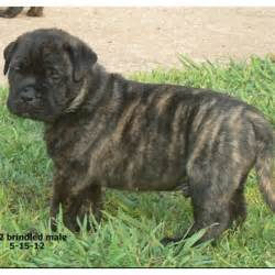 brindle english bullmastiff puppy places to visit