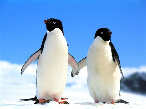 cute penguins cute mighty pictures
