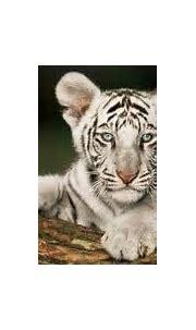 Life Cycle - White Tiger(CG 2012)