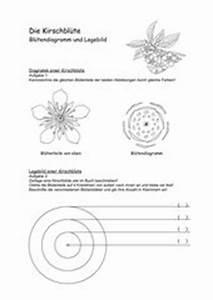 Aufbau Einer Kirschblüte : 4teachers kirschbl te diagramm und legebild ~ Frokenaadalensverden.com Haus und Dekorationen