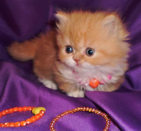 kitten for sale napoleon kittens for sale windysweptt napoleon
