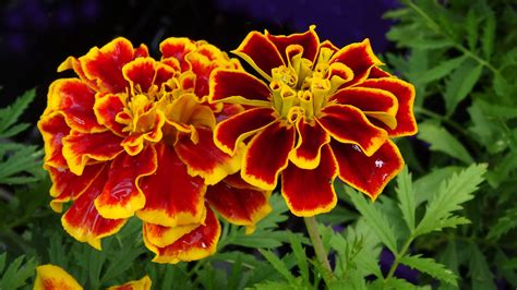 french marigold flower  red yellow flowering petals