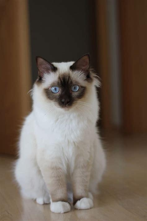 friendliest cat breeds   world