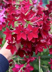 Nicotiana alata x sanderae 'Crimson Bedder' - Buy Online ...