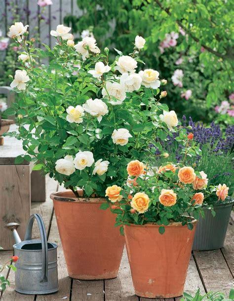Schöne Kübelpflanzen Für Die Terrasse by Pflegetipps F 252 R Topfrosen K 252 Belpflanzen