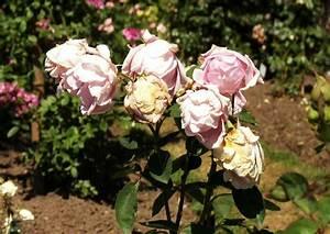 Eisendünger Rasen Schwarz : rosen alte sorten alte rosen sorten gela tempelmann von ~ Lizthompson.info Haus und Dekorationen