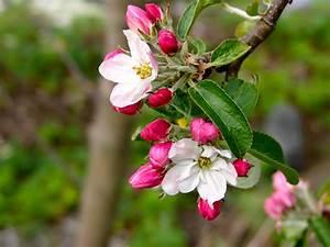 Sitkavores  Apples