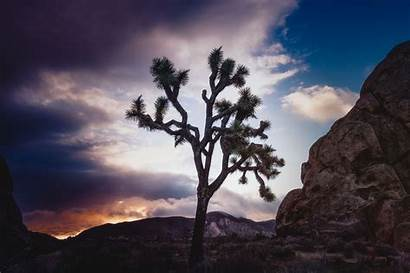Joshua Tree Trees National Park Facts Incredible