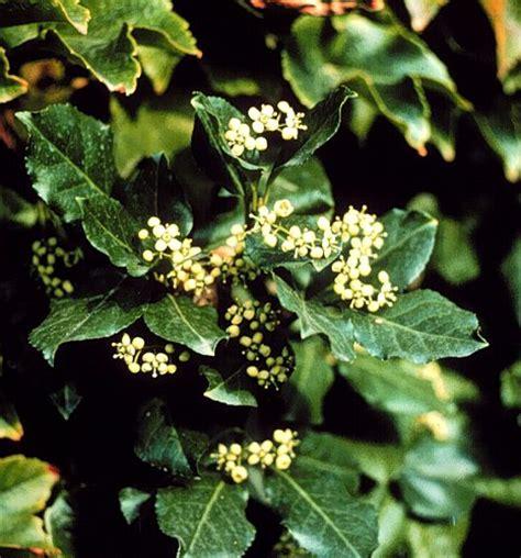 evergreen shrubs flashcards  proprofs