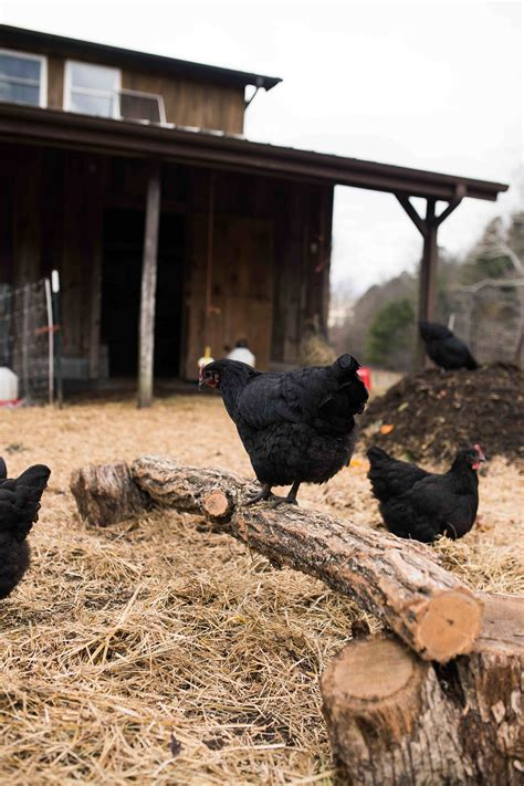 alternative to heat l for chickens 48 ways to keep your chickens happy this winter