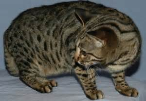 show me images of cats show me bengal cats