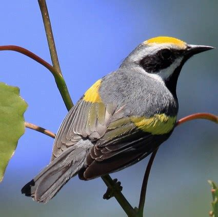 golden winged warbler identification all about birds