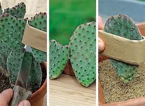 Bouture Plante Verte : comment bouturer les cactus les bons gestes jardinage rustica pinterest cactus ~ Melissatoandfro.com Idées de Décoration