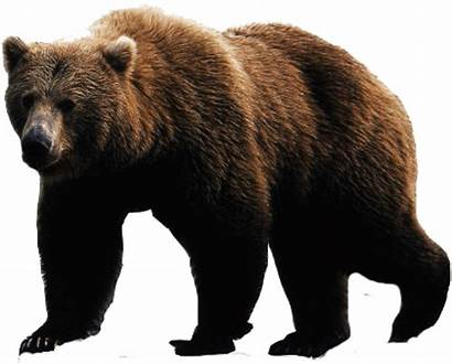 Bear Brown Grizzly Transparent Background Face Wikia