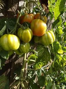 Exotische Früchte Im Eigenen Garten : tomatenanbau im eigenen garten planungswelten ~ Lizthompson.info Haus und Dekorationen
