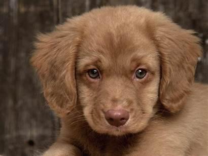 Puppy Sad Puppies Dog Fanpop Eyes Golden