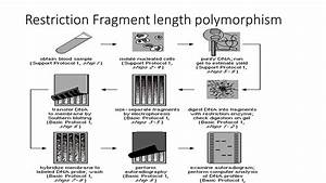 Restriction Fragment Length Polymorphism  Rflp   Principle