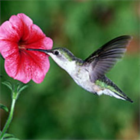 attracting hummingbirds using the best loved flowers and