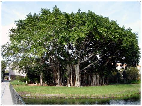 bodhi tree images 10 astounding varieties of trees